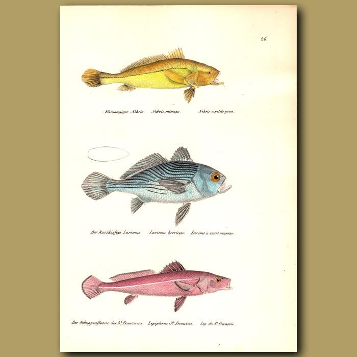 Antique print. Small-eye Croaker , Short-head Drum