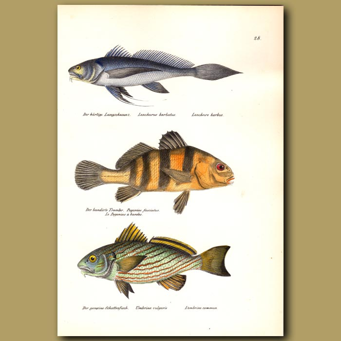 Antique print. Bearded Lancet Tail, Banded Drum and Drum