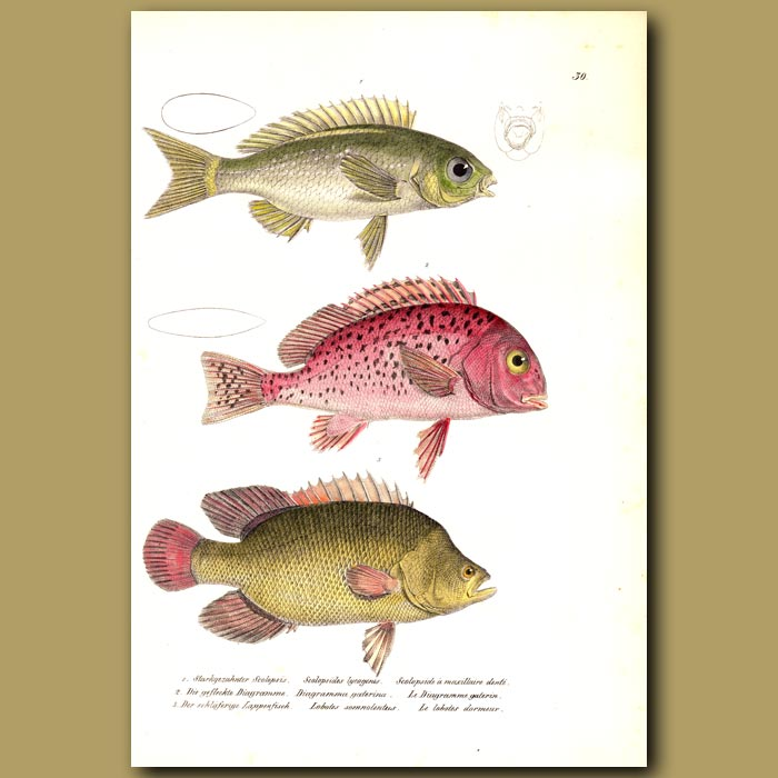 Antique print. Saw-jawed Monocle Bream,Atlantic Tripletail