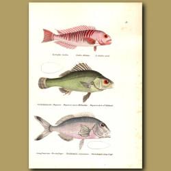 Tilefish And Jewfish
