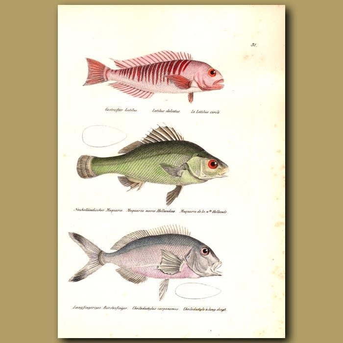 Antique print. Tilefish and Jewfish