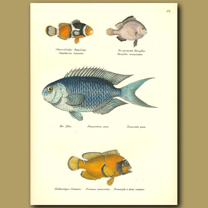 Antique print. Clown Fish, Blue Damselfish, Maroon Clownfish