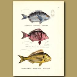 Annular Seabream, Sharpsnout Sea Bream, Sea Bream (Snapper)
