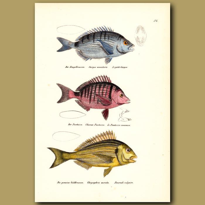 Antique print. Annular Seabream, Sharpsnout Sea Bream, Sea Bream (Snapper)