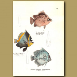 Spotted Scat, Horned Bannerfish, Spotted Sicklefish