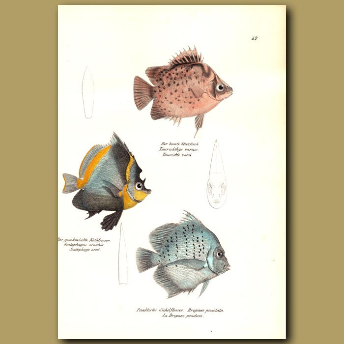 Antique print. Spotted Scat, Horned Bannerfish, Spotted Sicklefish