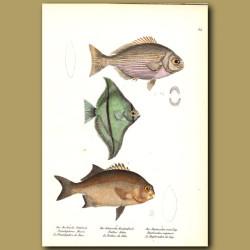 White Chub, African Angelfish And Galjoen