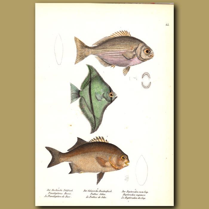 Antique print. White Chub, African Angelfish and Galjoen