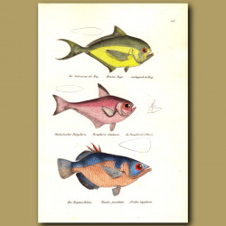 Sea Bream, Banded Archerfish
