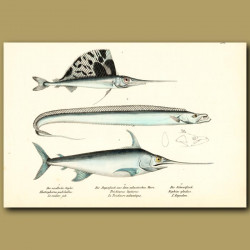 Sailfish, Swordfish And Cutlassfish