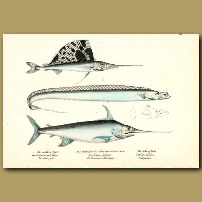 Antique print. Sailfish, Swordfish and Cutlassfish