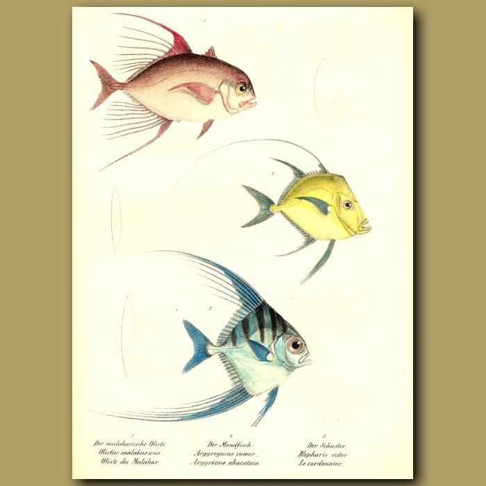 Antique print. Bumpnose Trevally, African Pompano