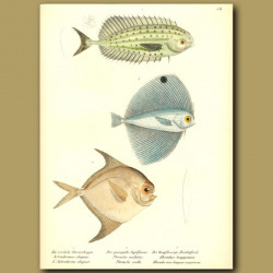 Louvar, Long-Finned Harvest Fish