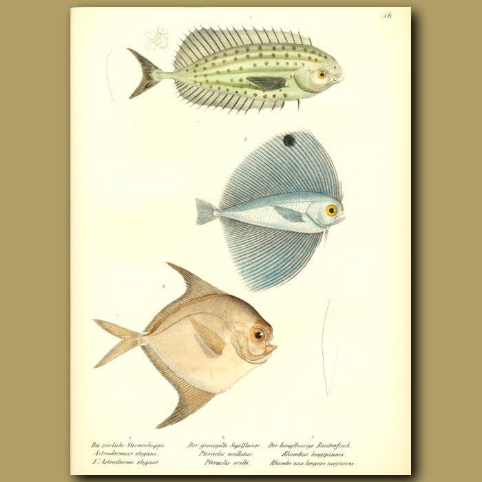 Antique print. Louvar, Long-finned Harvest fish