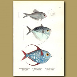 Indian Humphead And Moonfish