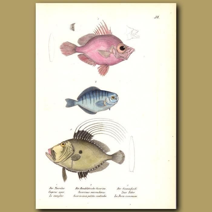 Antique print. Boar Fish, Butterfish, John Dory
