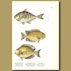 Spinefoot, Goldlined Rabbitfish,Doctorfish Tang