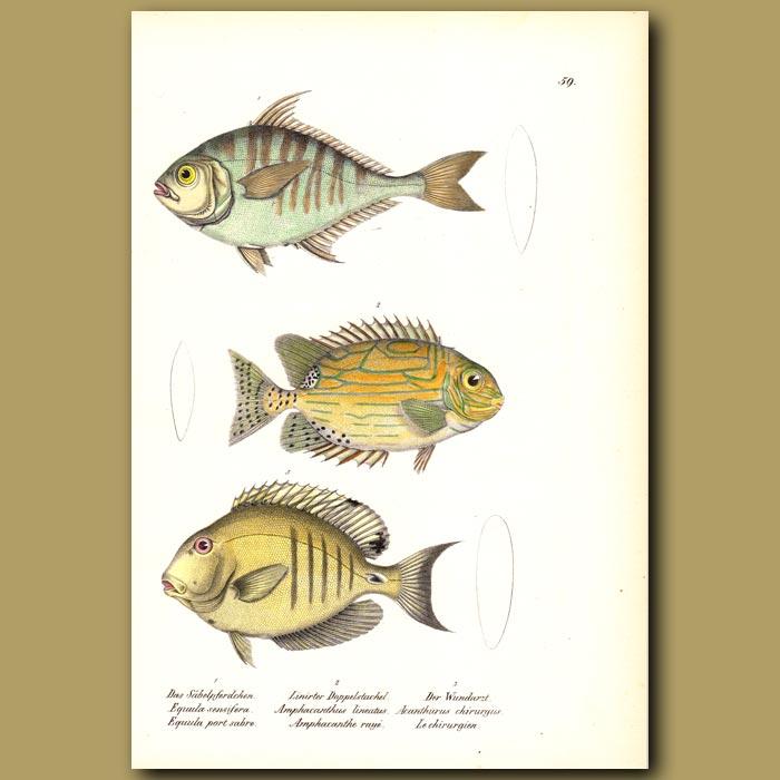 Antique print. Spinefoot, Goldlined Rabbitfish,Doctorfish Tang