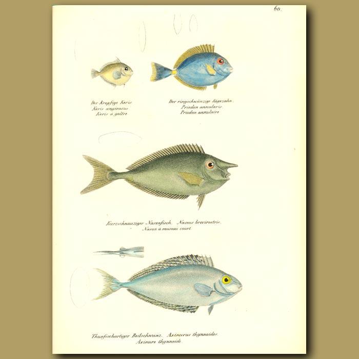 Antique print. Annular Seabream, White-margin Unicornfish, One-knife Unicornfish