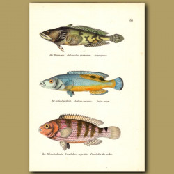 Freshwater Toadfish, Cuckoo Wrasse And Wrasse