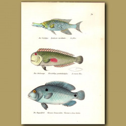 Sling-Jaw Wrasse, Red-Spot Razor Wrasse And Cyclid