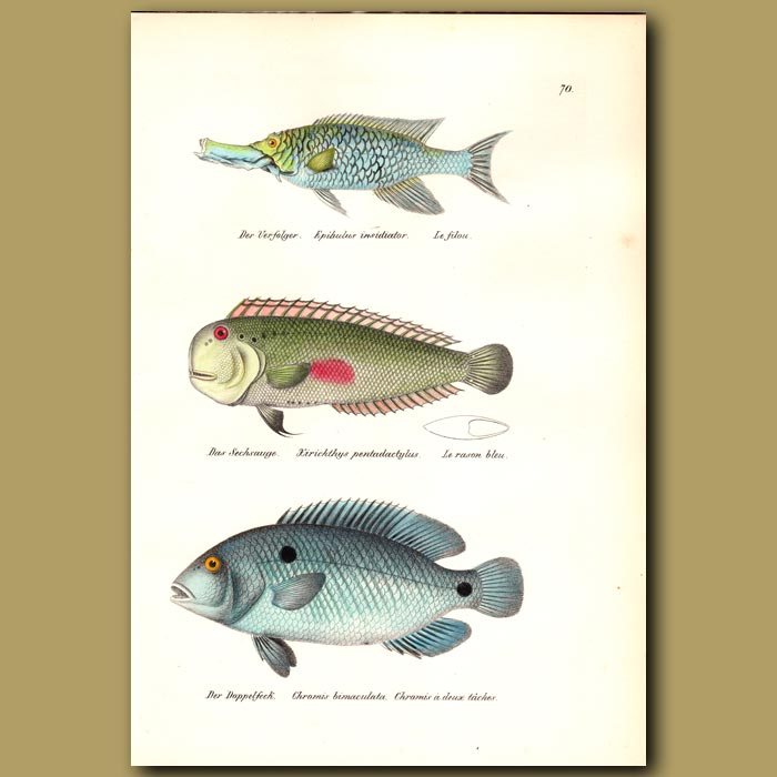 Antique print. Sling-jaw Wrasse, Red-spot Razor Wrasse and Cyclid
