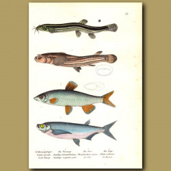 Loach, Four-Eyed Fish And Common Nase