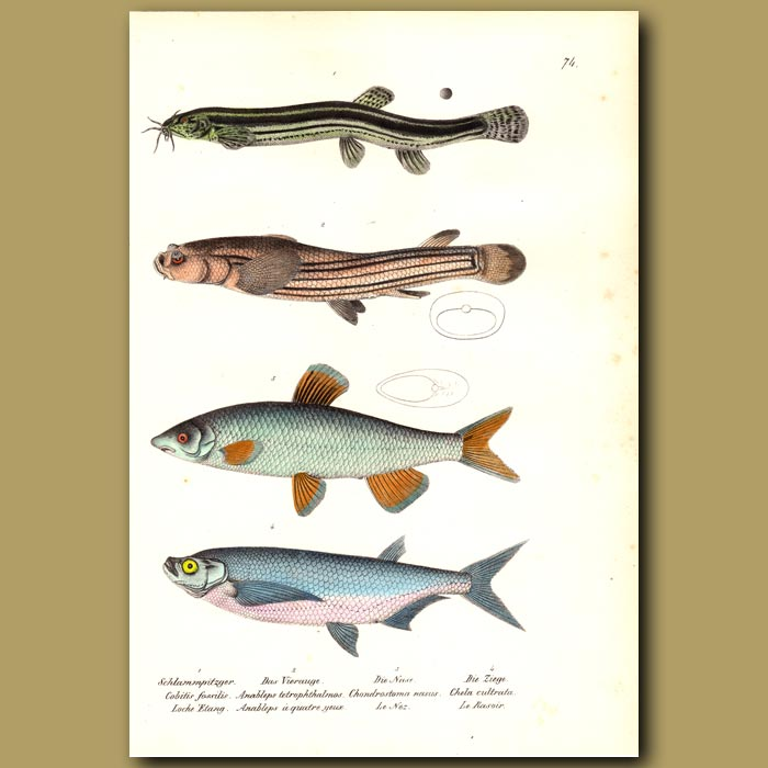 Antique print. Loach, Four-eyed Fish and Common Nase