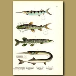 Ballyhoo Halfbeak, Tiger Catfish, Northern Pike And Garfish