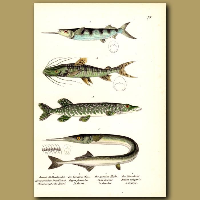 Antique print. Ballyhoo Halfbeak, Tiger Catfish, Northern Pike and Garfish