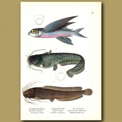 Flying Fish, Wel's Catfish And African Catfish