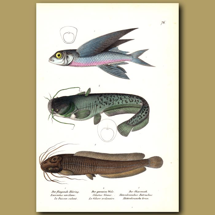 Antique print. Flying Fish, Wel's Catfish and African Catfish