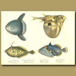 Ocean Sunfish, Three-Tooth Pufferfish, Unicorn Leatherjacket, Lagoon Triggerfish