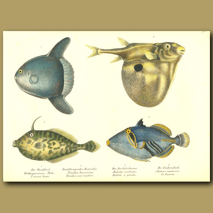 Antique print. Ocean Sunfish, Three-tooth Pufferfish, Unicorn Leatherjacket, Lagoon Triggerfish
