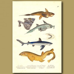 Sharks: Great White Shark, Dogfish, Chimaera And Leopard Shark