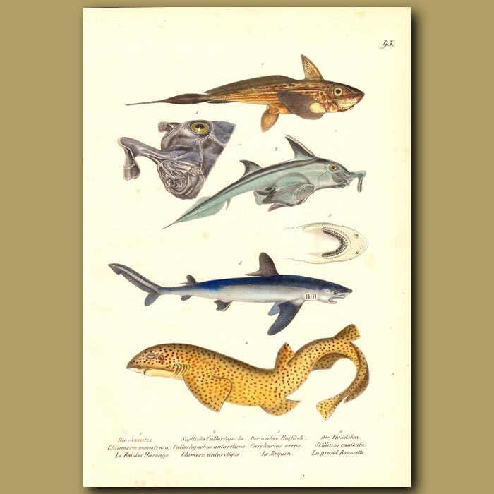 Antique print. Sharks: Great White Shark, Dogfish, Chimaera and Leopard Shark