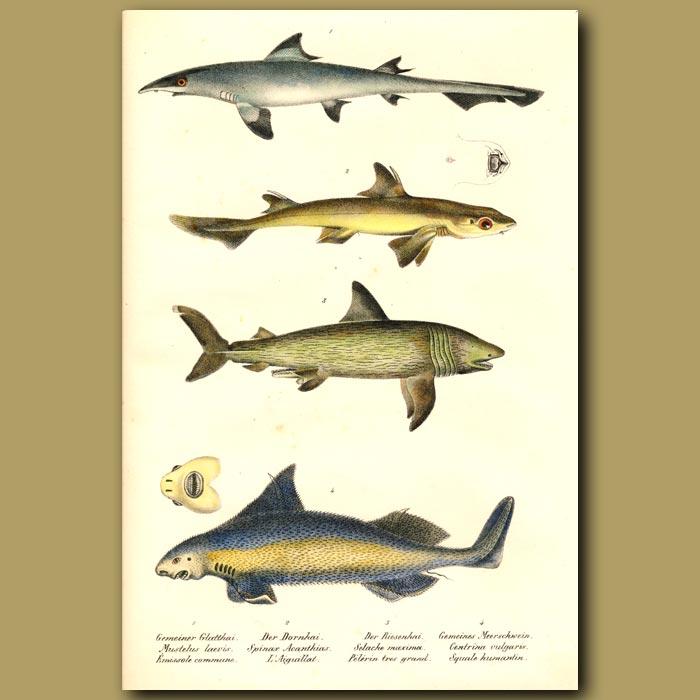 Antique print. Sharks: Smoothhound Shark, Spiny Dogfish and Angular Roughshark