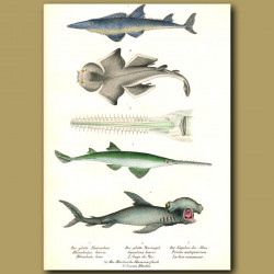 Sharks: Hammerhead Shark, Angel Shark,Smoothnose Wedgefish, Sawfish