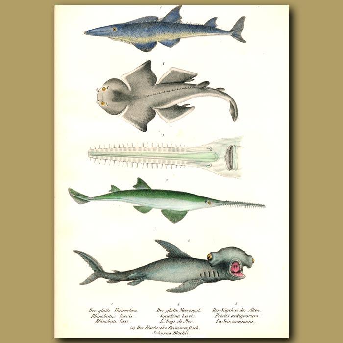 Antique print. Sharks: Hammerhead shark, Angel shark,Smoothnose Wedgefish, Sawfish