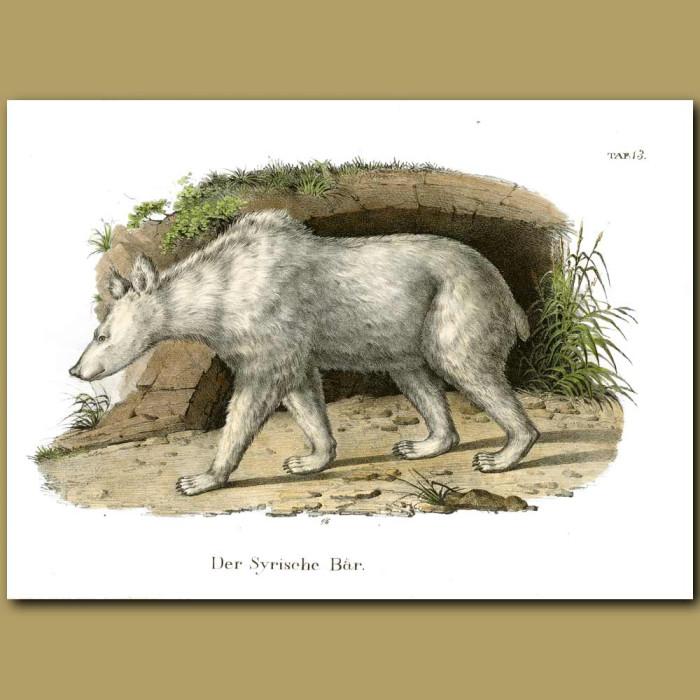Antique print. Syrian Bear