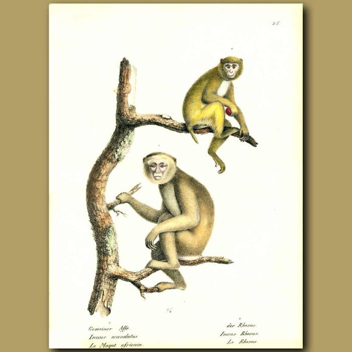 Antique print. Barbary Ape and Rhesus monkey