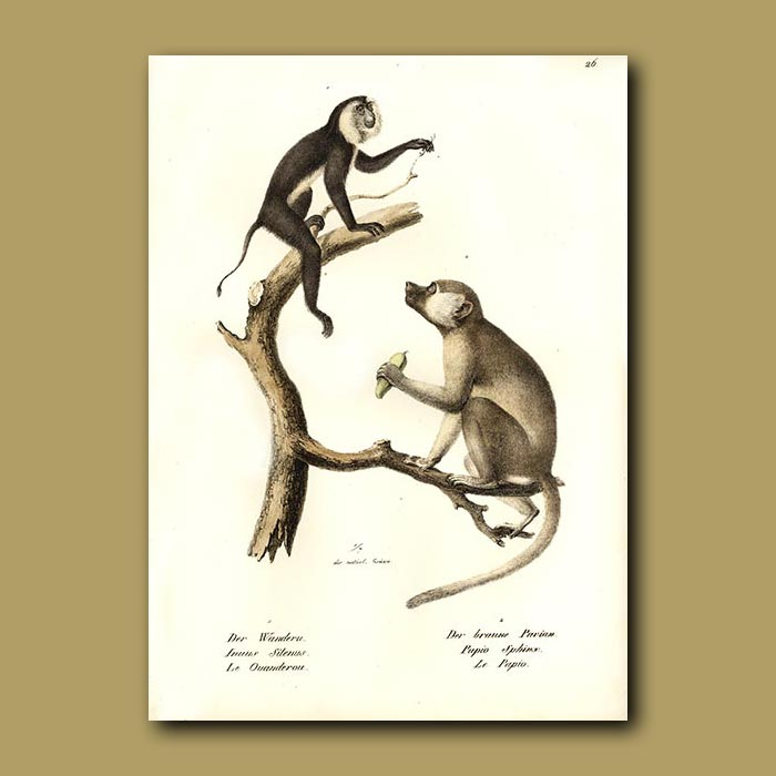 Antique print. Macaque and Mandrill Apes