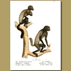 Ouakari Monkeys From Amazonia