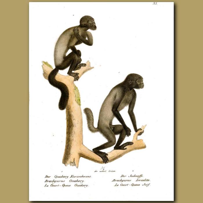 Antique print. Ouakari monkeys from Amazonia
