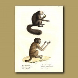 Black And White Headed Saki Monkeys From South America