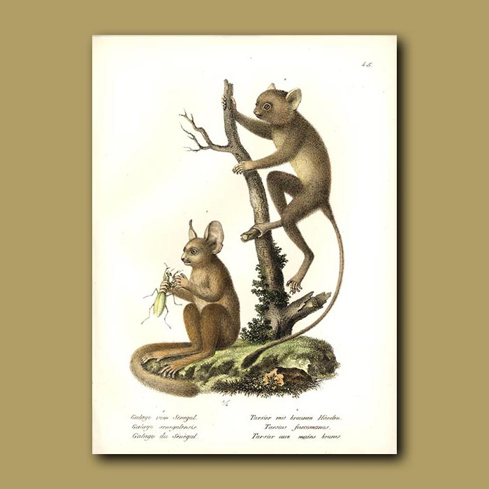 Antique print. Galago and Tarsier Monkeys from Africa