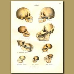 Skulls Of Primates