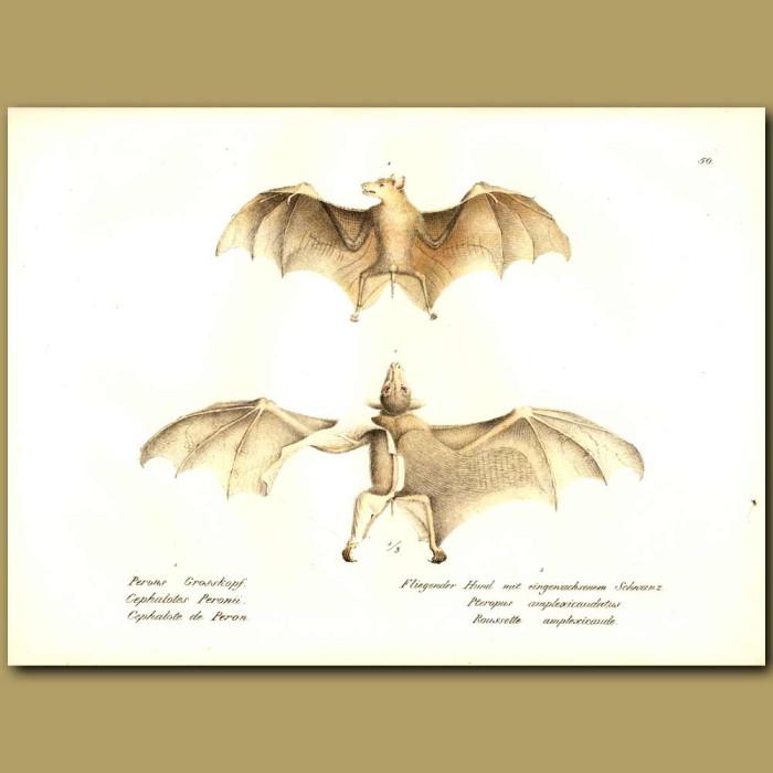 Antique print. Fruit Bats