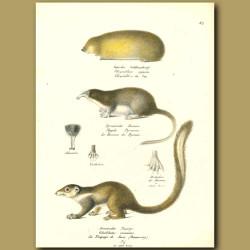 Golden Mole, Shrew And Tree Shrew