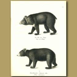 Tibetan Bear And American Black Bear